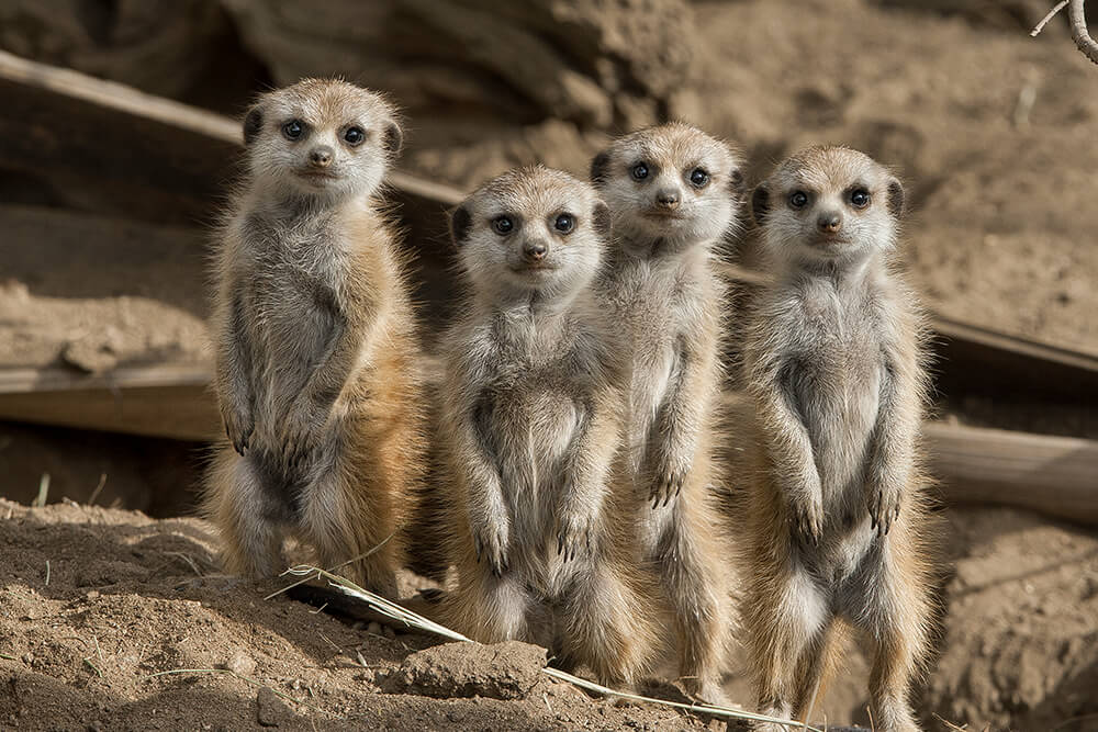 A group of four baby meerkats standing on their hind legs