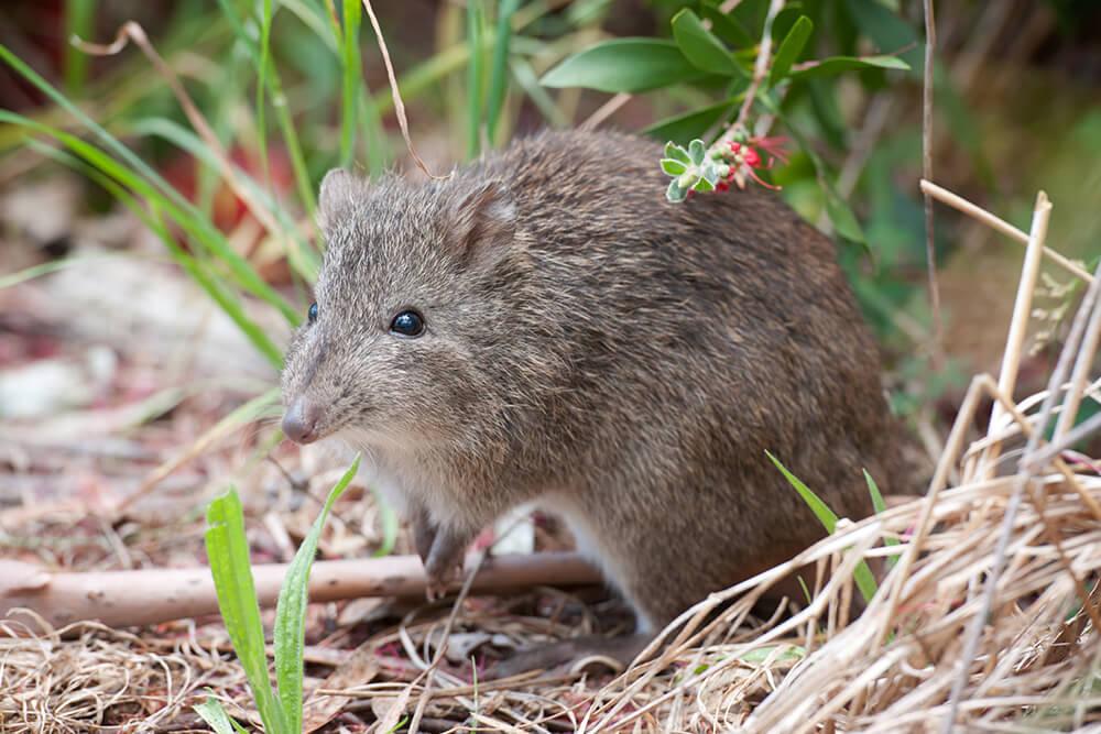 A small bandicoot sits on its hind legs among blades of grass