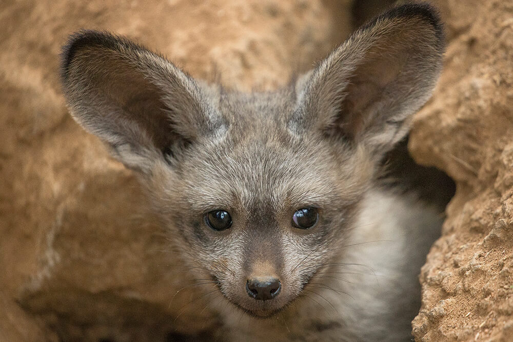 Bat-eared fox kit peeking out of den.
