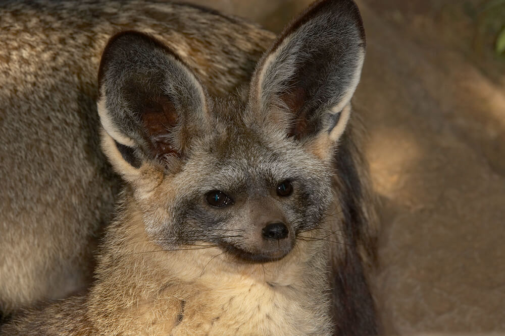 Older bat-eared fox kit with ears perked up.