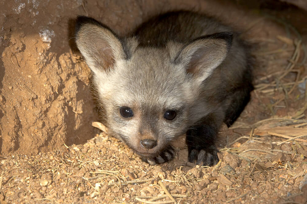 Bat-eared fox kit