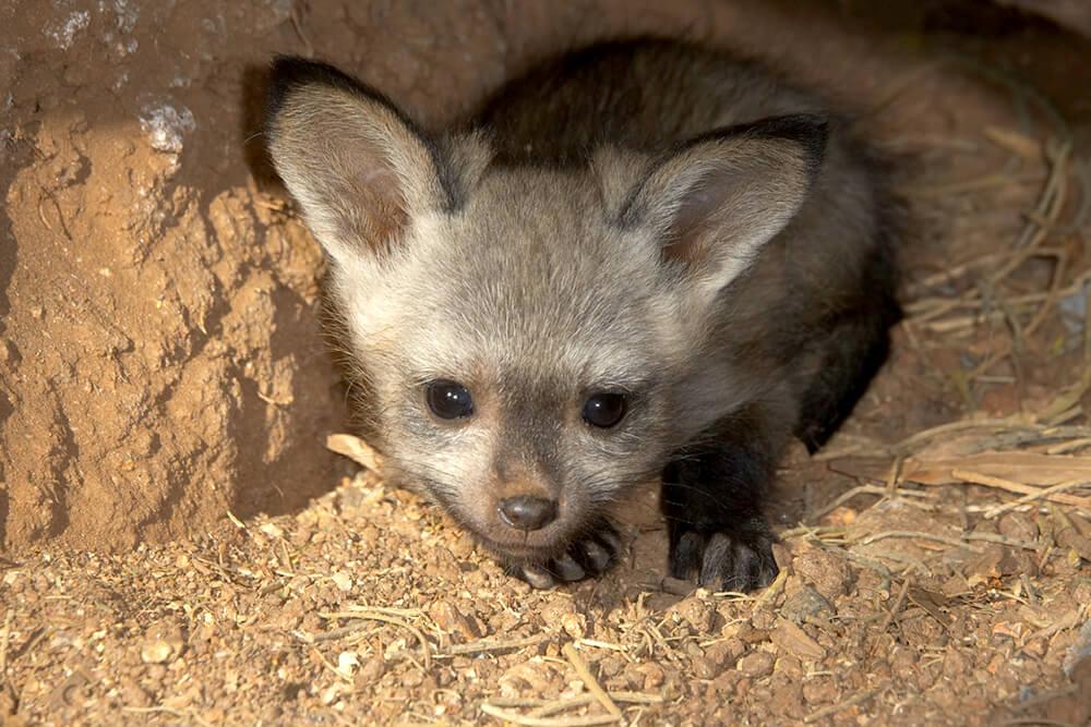 Bat Eared Fox San Diego Zoo Animals Amp Plants