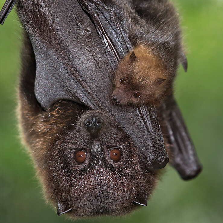 Mother Rodrigues bat and baby hanging upside down