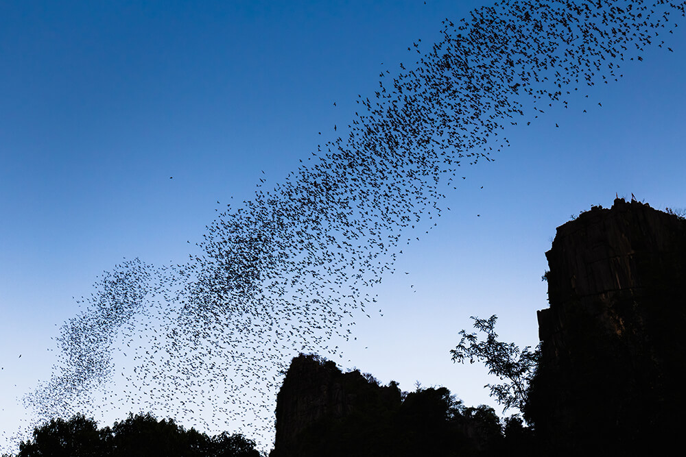 A cloud of dark silhouetted bats fly from a cave