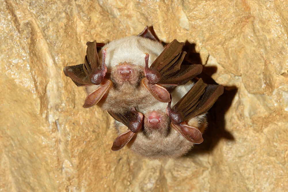 two lesser mouse-eared bats roosting in a cave