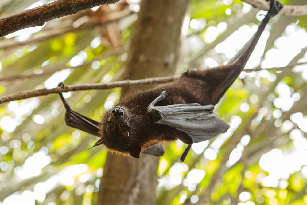 Rodrigues fruit bat hanging one foot from a high branch, and one wing claw grabbing onto a lower branch
