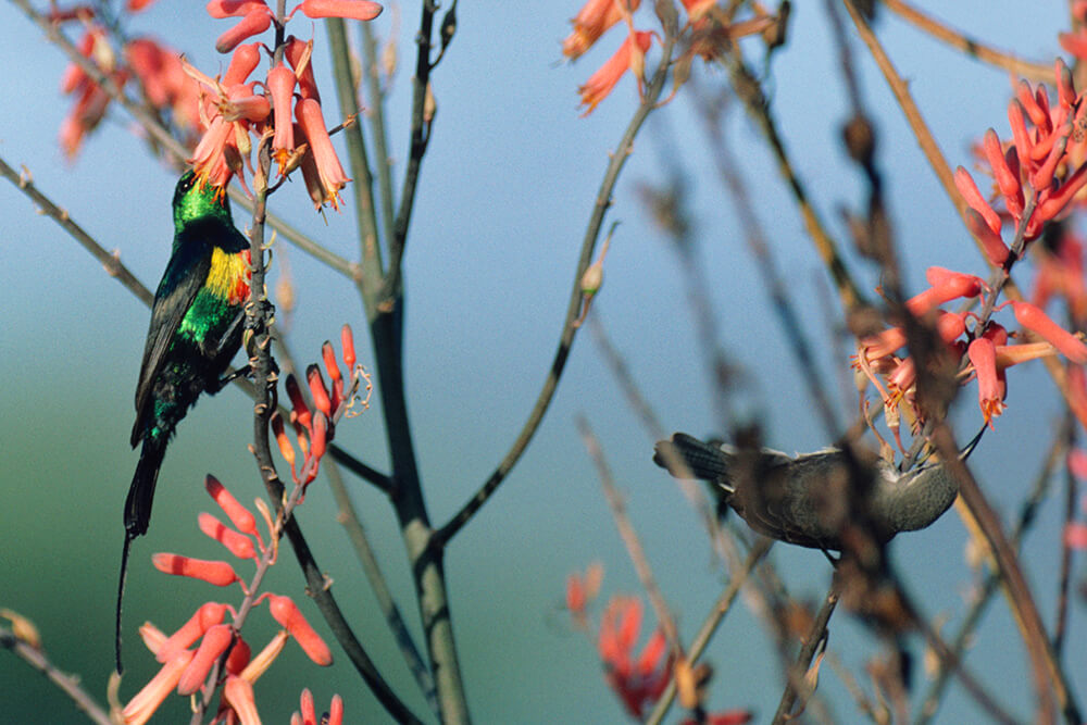 Male and female beautiful sunbirds
