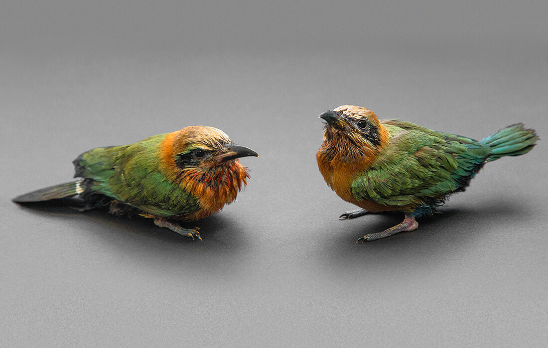 White-fronted bee-eater chicks