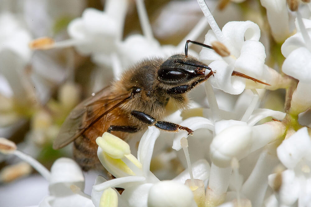 Honeybee collecting nectar snd pollen from white flowers