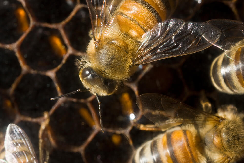 Honeybees work on their honeycomb.
