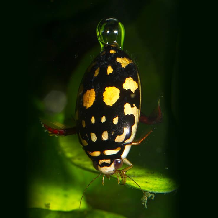 Beetle | San Diego Zoo Animals & Plants