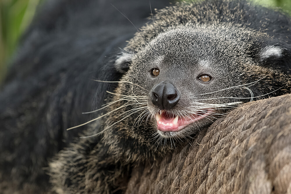 Binturong resting its head on a rope covering while opening its mouth, exposing large canines.