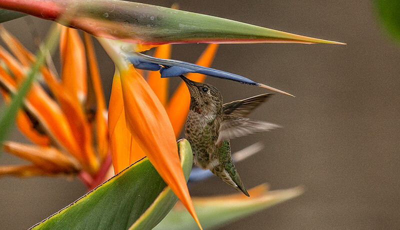 Hummingbird drinking nectar from a bird-of-paradise flower