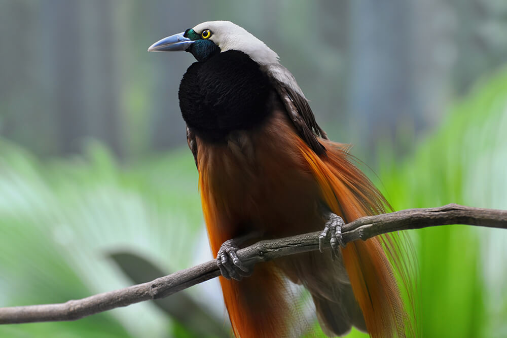 Greater bird of paradise