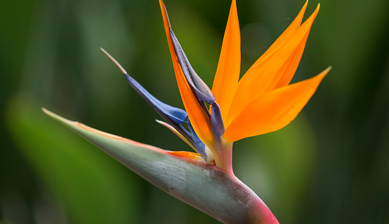 Bright orange bird-of-paradise flower