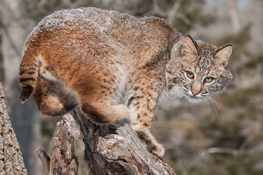 A bobcat balances on top of a tree stump, back lightly dusted with snow