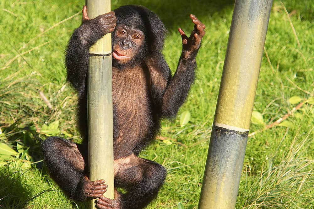 A young bonobo climbs a bamboo stalk using its hands and feet