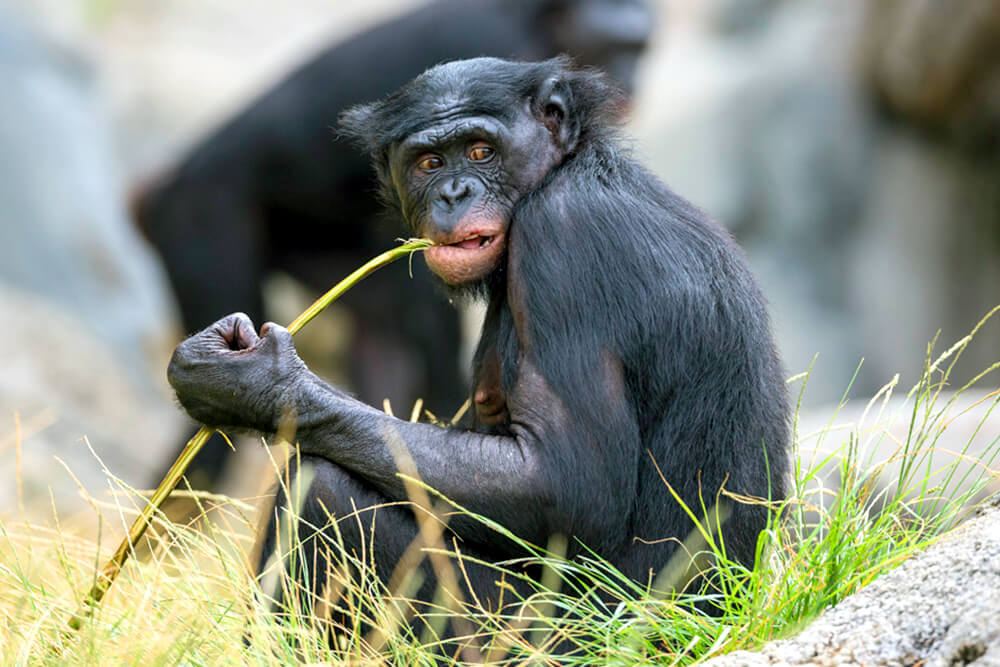 Female bonobo looking to the right as she gnaws on a green stalk.