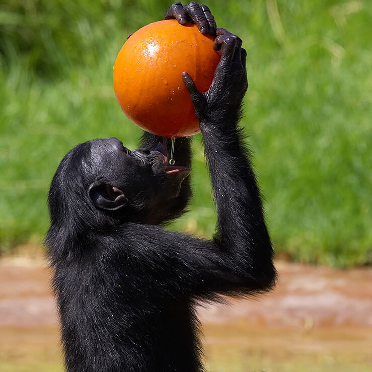 A bonobo holds a bright orange ball containing honey above its mouth to catch the drops.