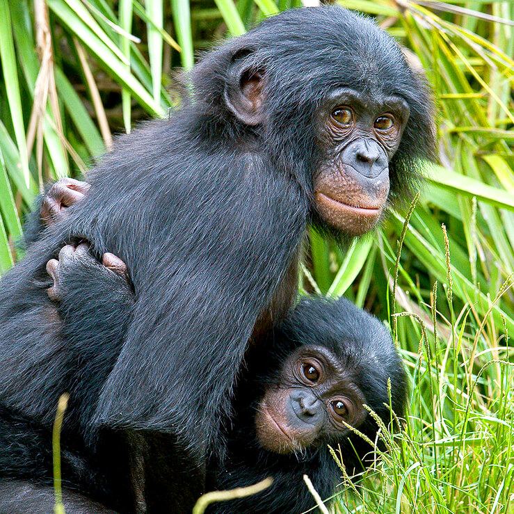 A young bonobo carries an even younger bonobo on its chest