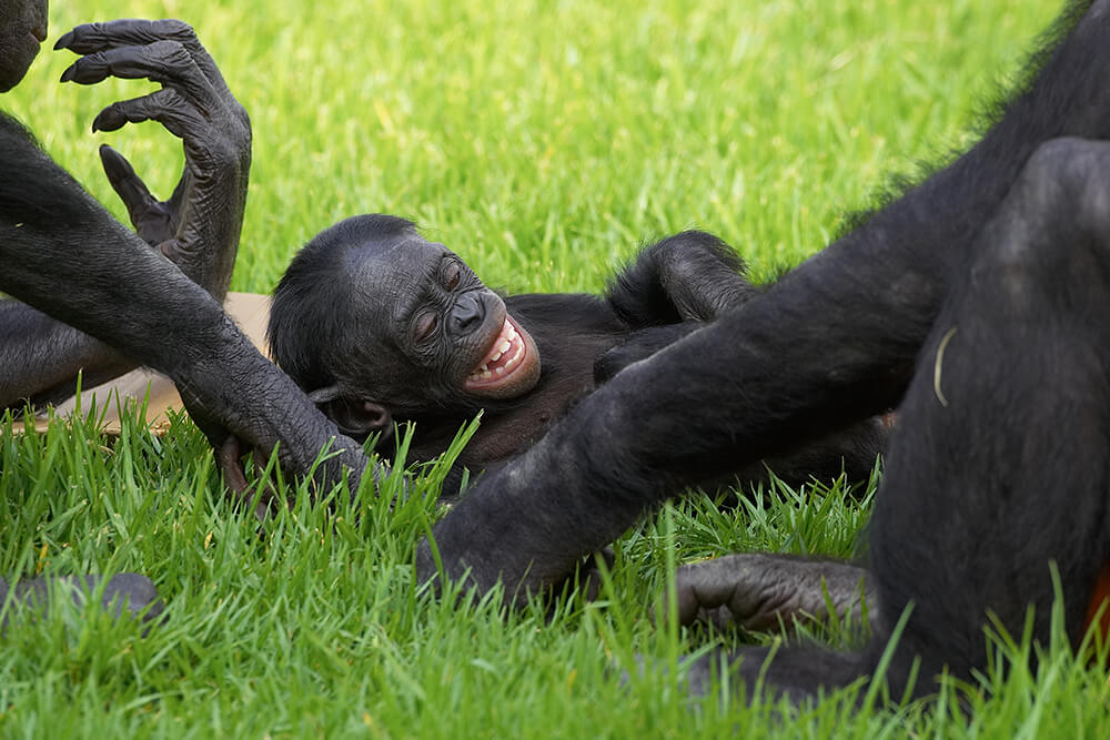 A young bonobo laughs as he lays int he grass between to others.