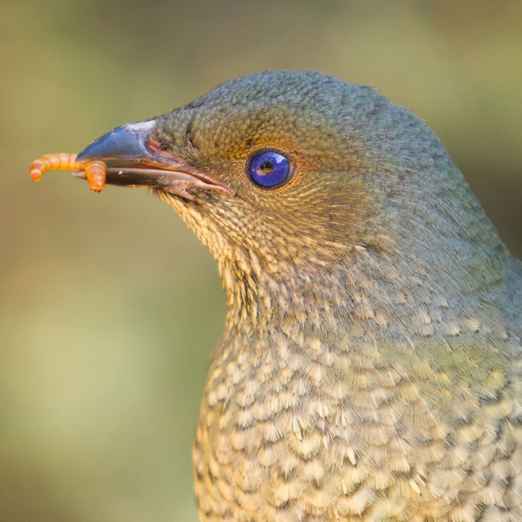 Satin female bowerbird holding a grub in her beak