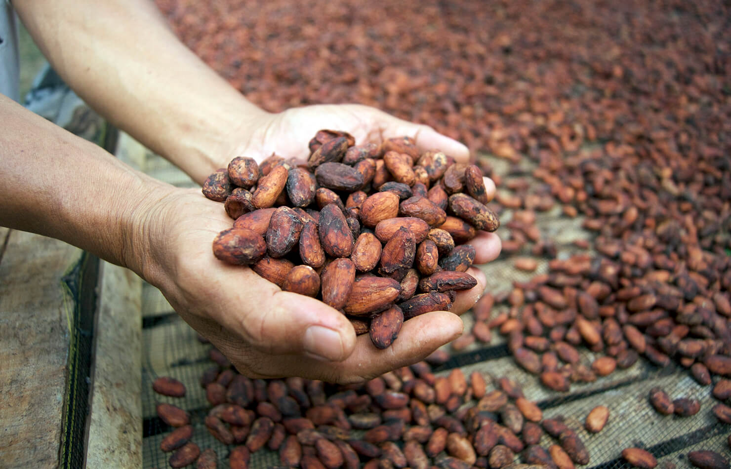 Dried cacao beans