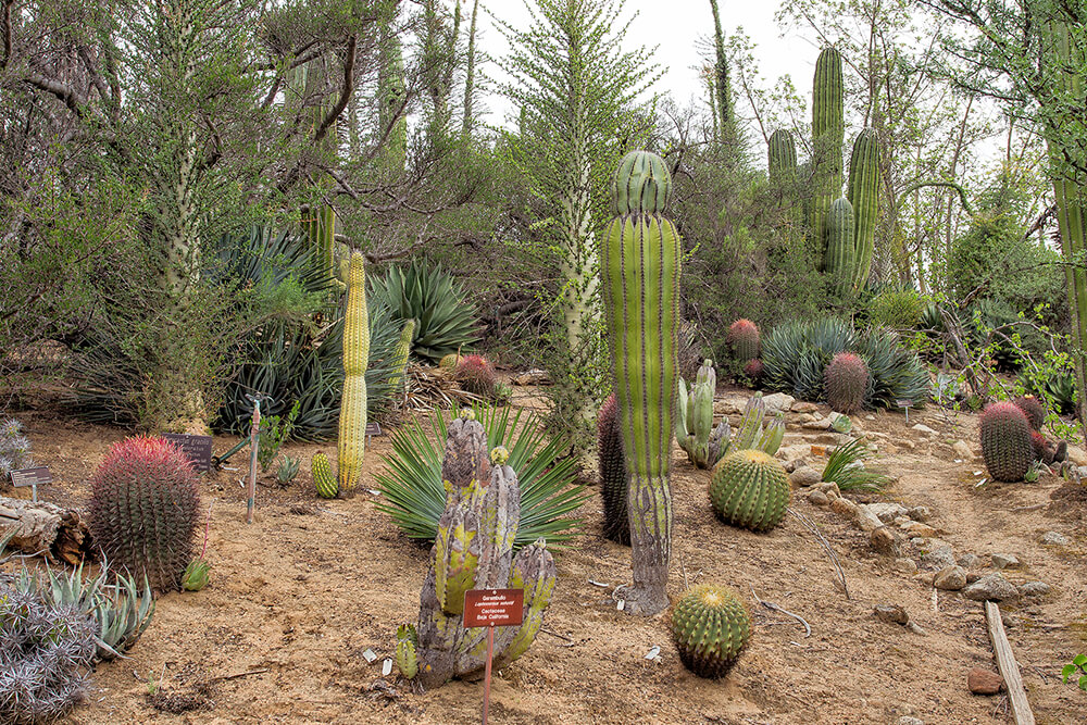 A collection of cacti at the Baja Garden at the San Diego Zoo Safari Park.