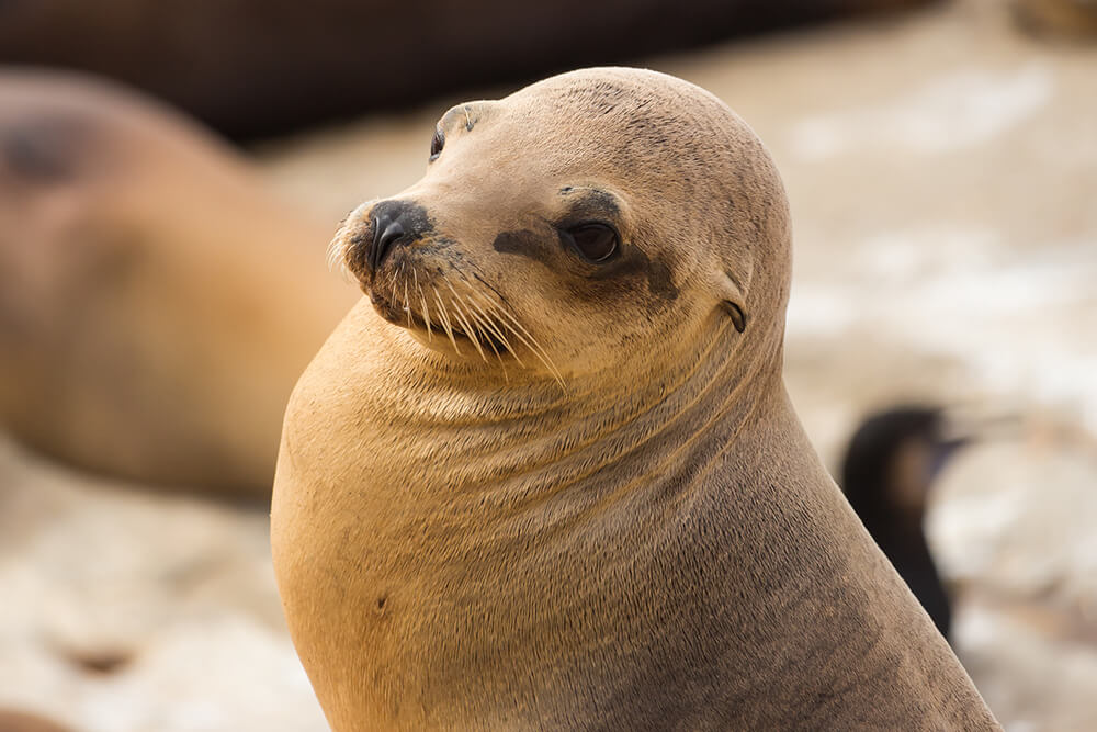 Close up of a California sea lion's face