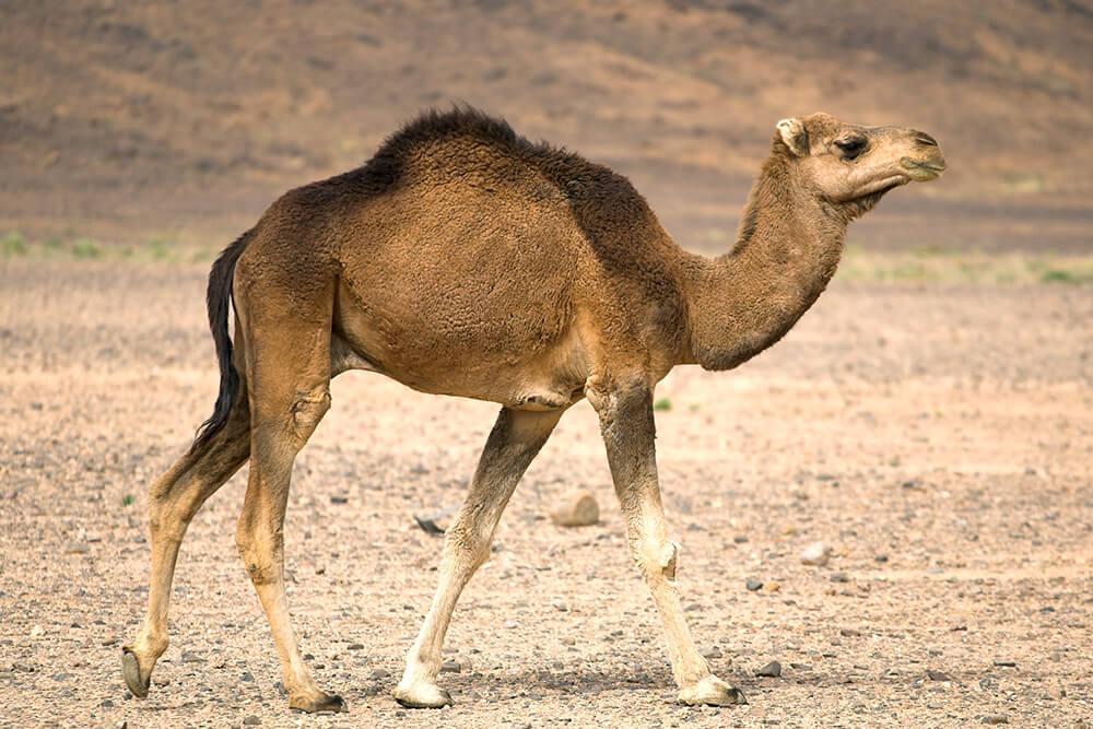 Dromedary Camel In The Sahara Desert