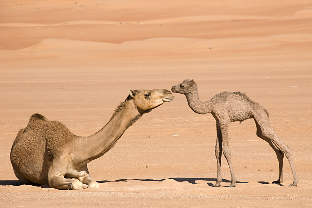A newborn dromedary camel stands near her seated mother who stretches her neck out to sniff her.