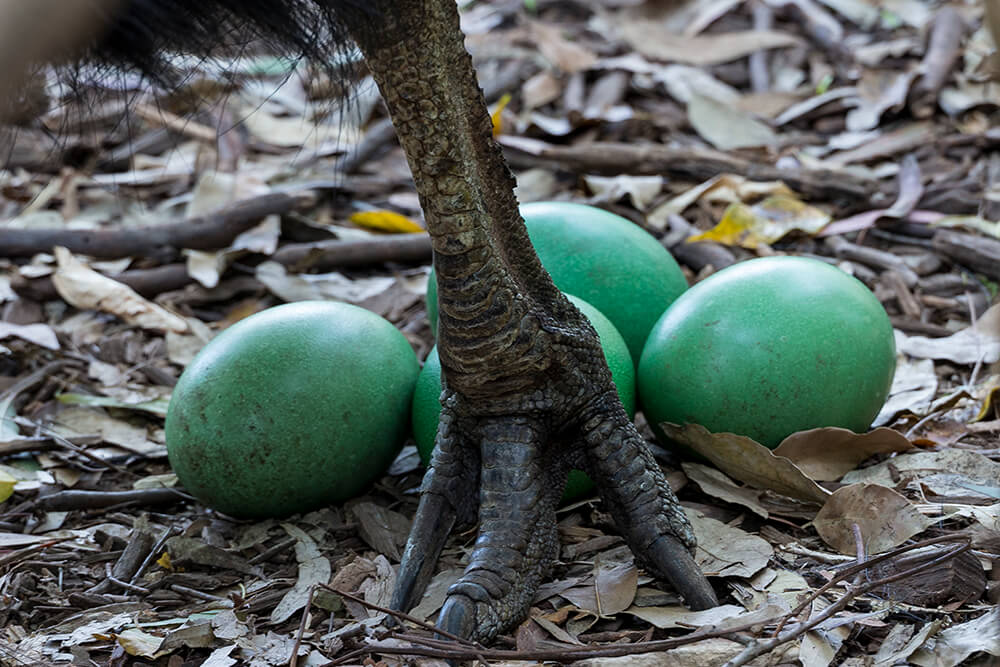 A Southern cassowary father guards his 4 green eggs as they lay on the dried leaf covered ground