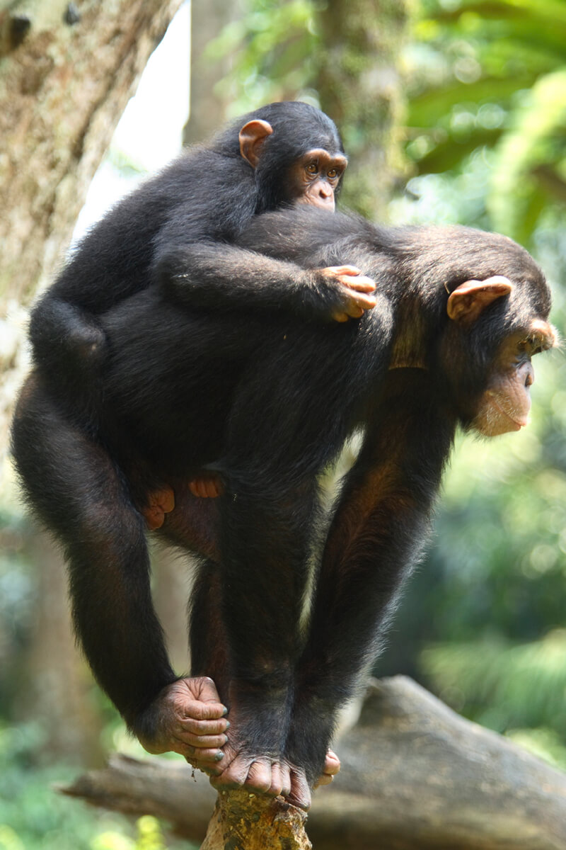 Mother chimp carrying her youngster on her back