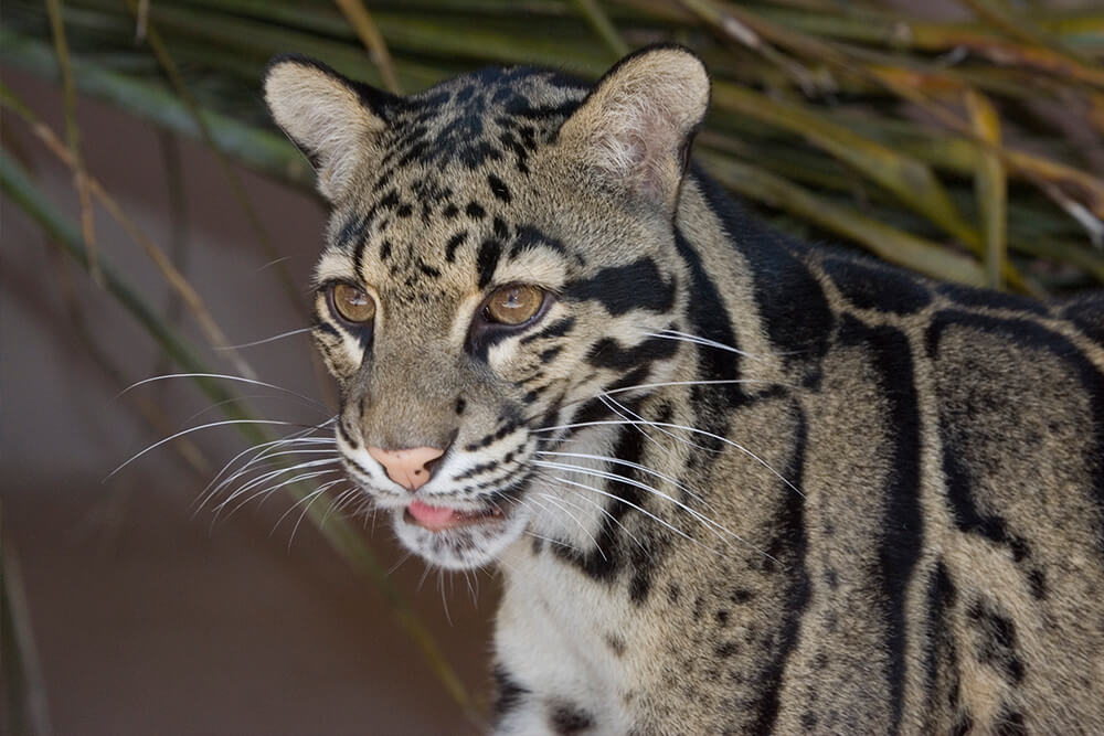 Clouded leopard looking left and displaying its long whiskers