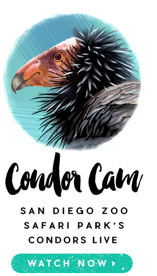Condor Cam: San Diego Zoo Safari Park's Condors Live. Watch Now.