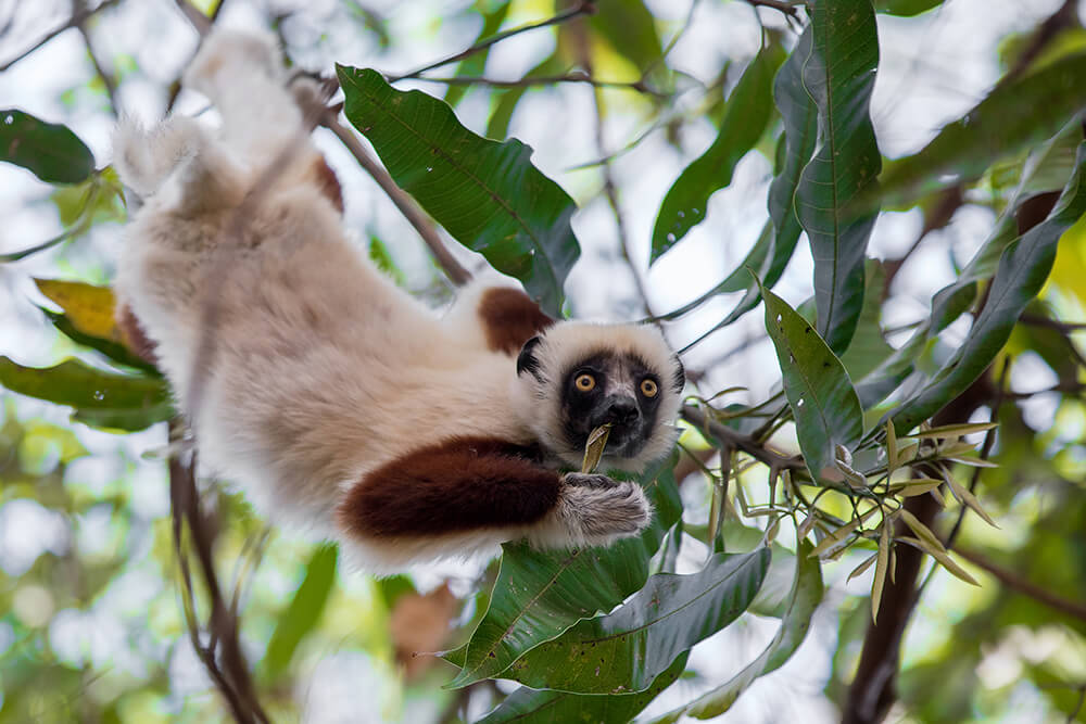 Cockerel's sifaka hanging onto a tree branch with its hind legs as it uses it's hands to grab and eat leaves
