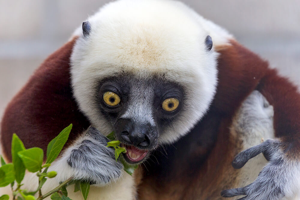 Cockerel's sifaka eating green leaves