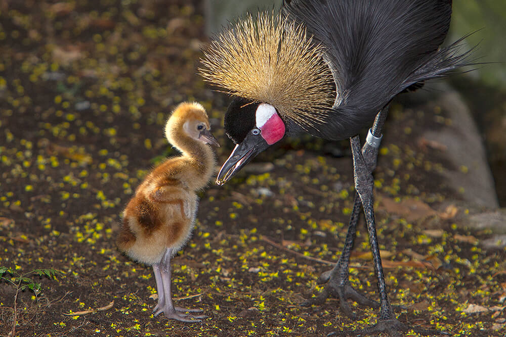 West African Crowned crane chick and mother