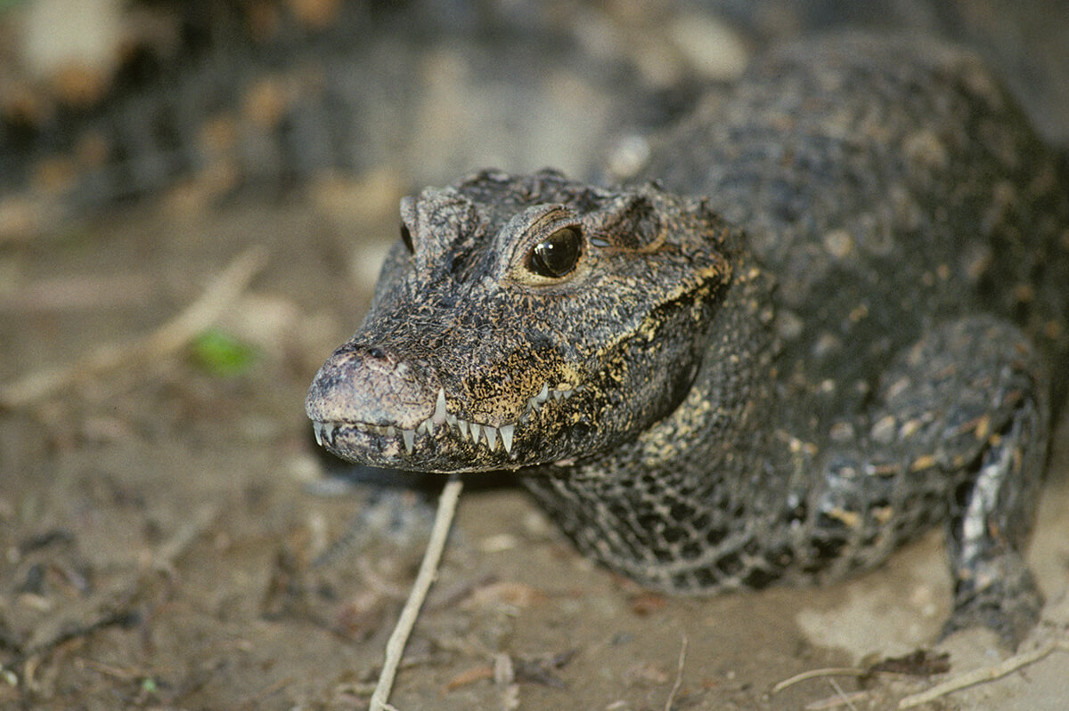 Close-up of an African dwarf crocodile