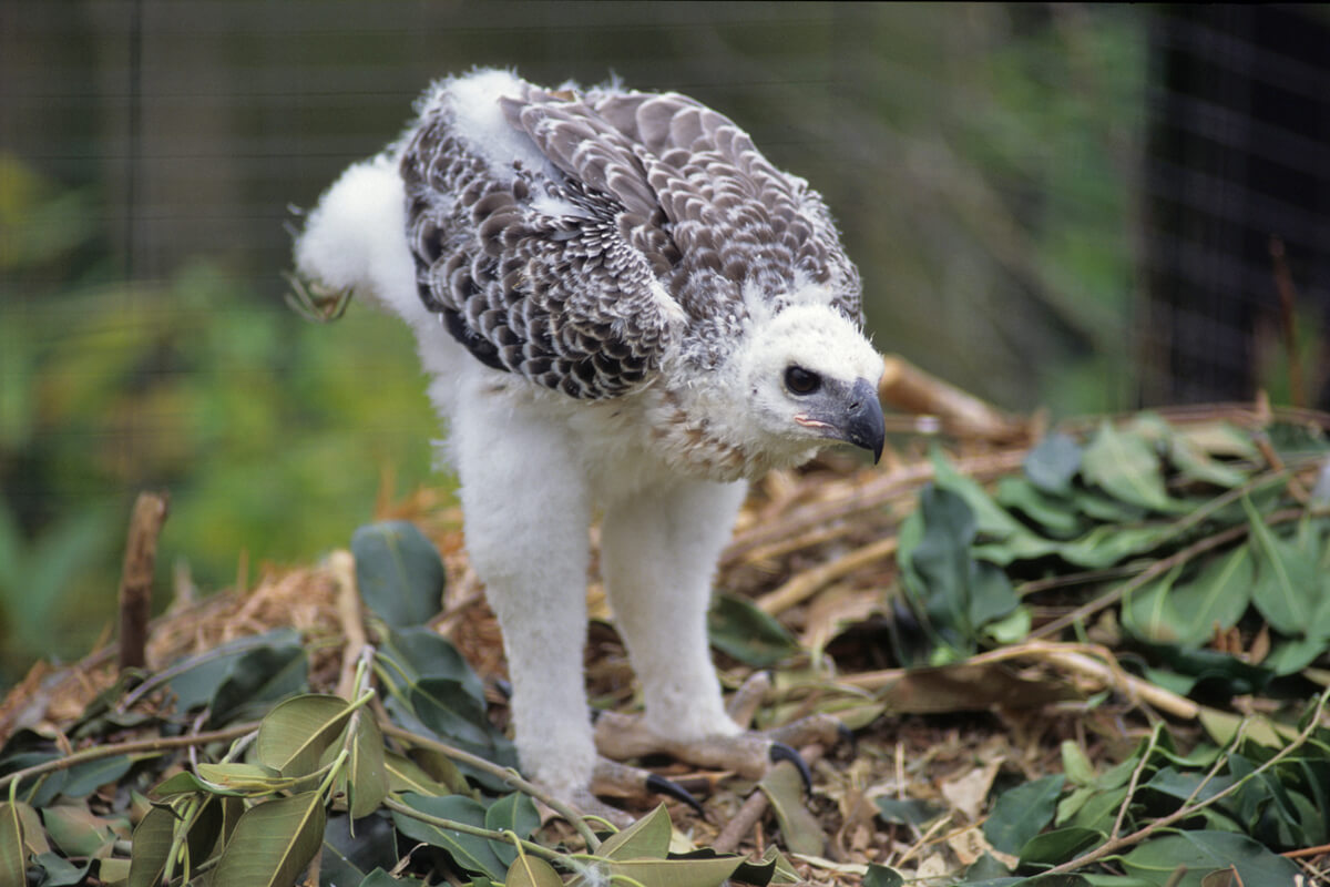 Crowned eagle chick