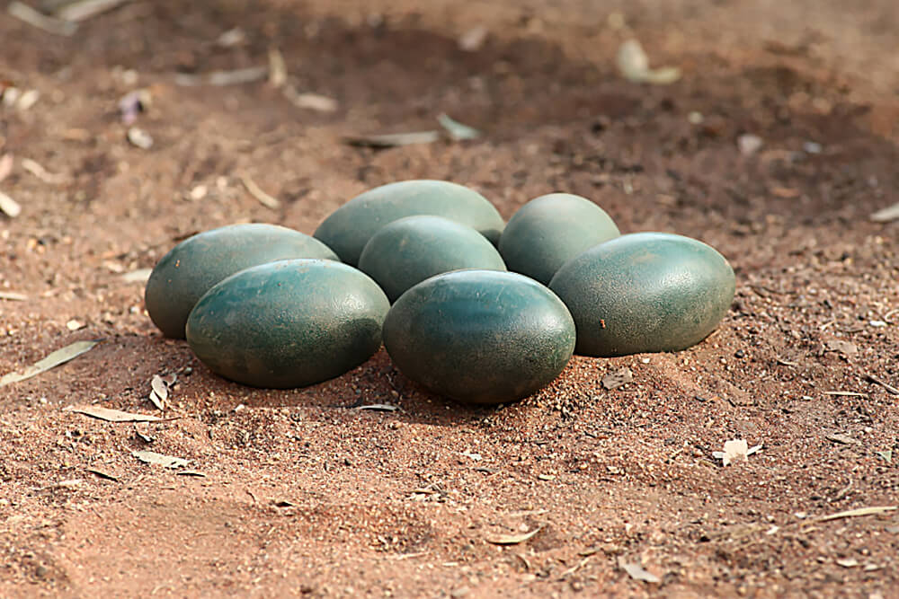 Emu Egg Clutch On Red Dirt