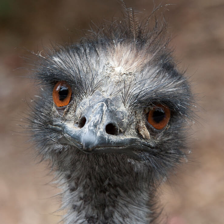 Close up of an emu's face displaying its large red-brown eyes