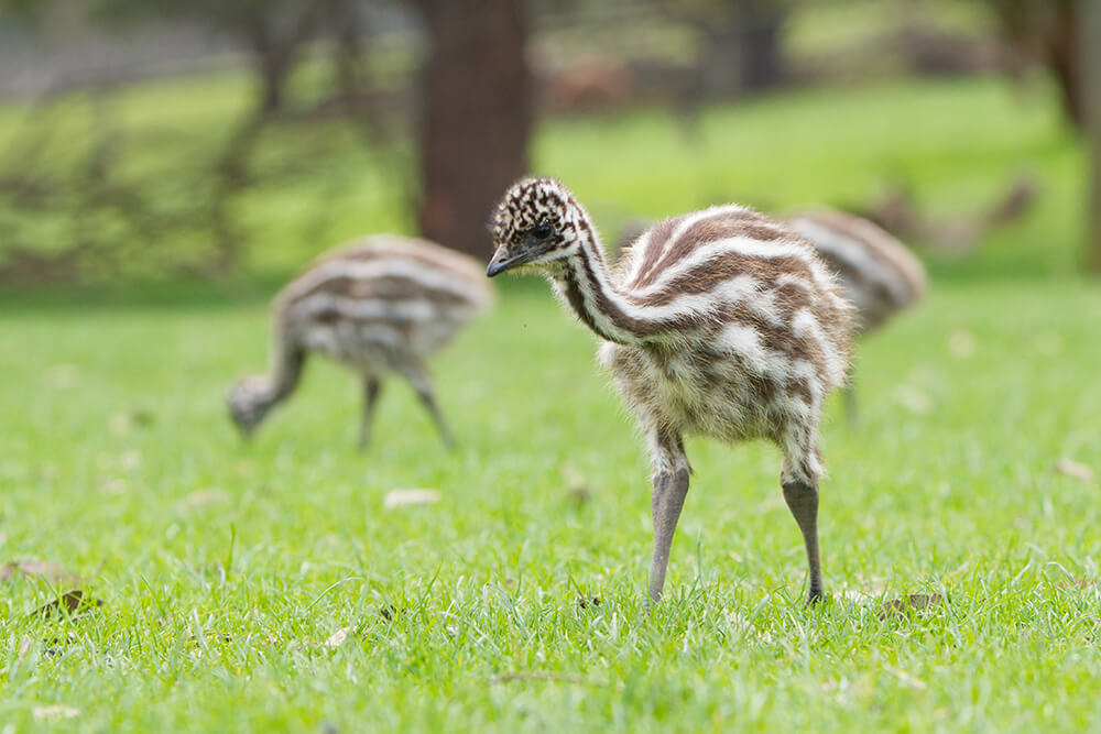 Emu Chick Standing In Grassy Field