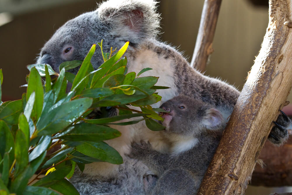 A mother and baby koala both munch on eucalyptus leaves at the San Diego Zoo.