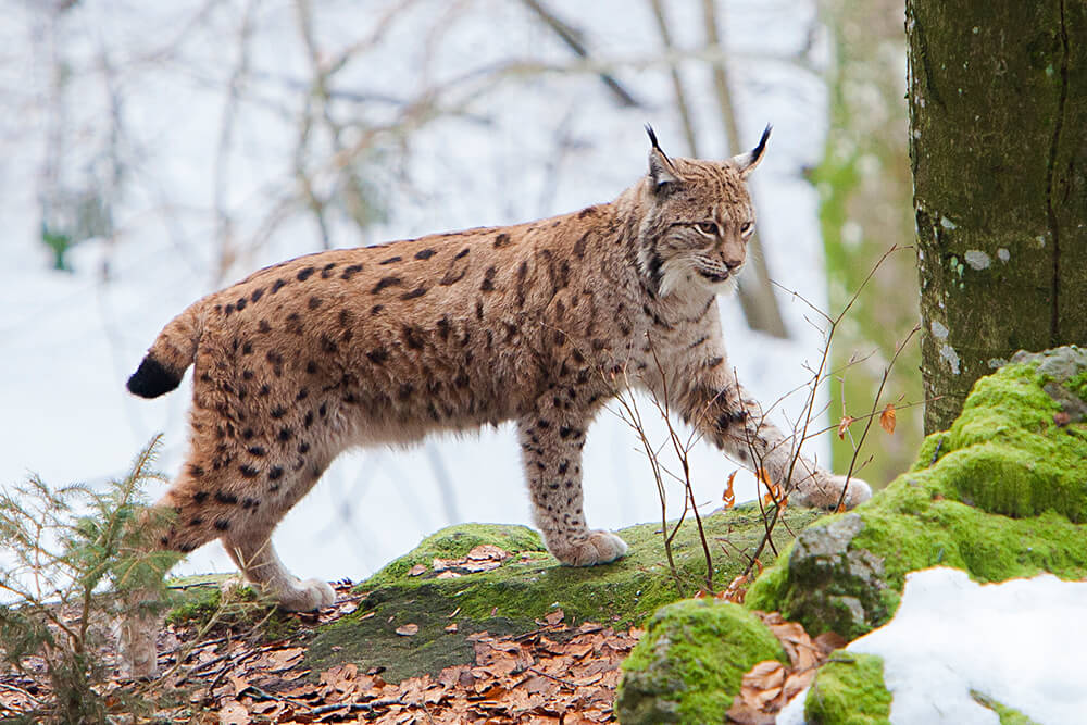 Eurasian lynx walking on moss covered rocks with snow covered forest background