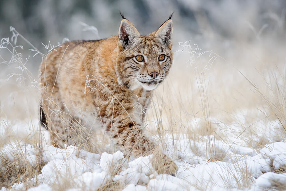 Eurasian lynx walking across a snowy field