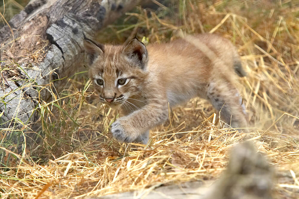 A young Eurasian lynx cub practices stalking through dried grass with a tree log in the background