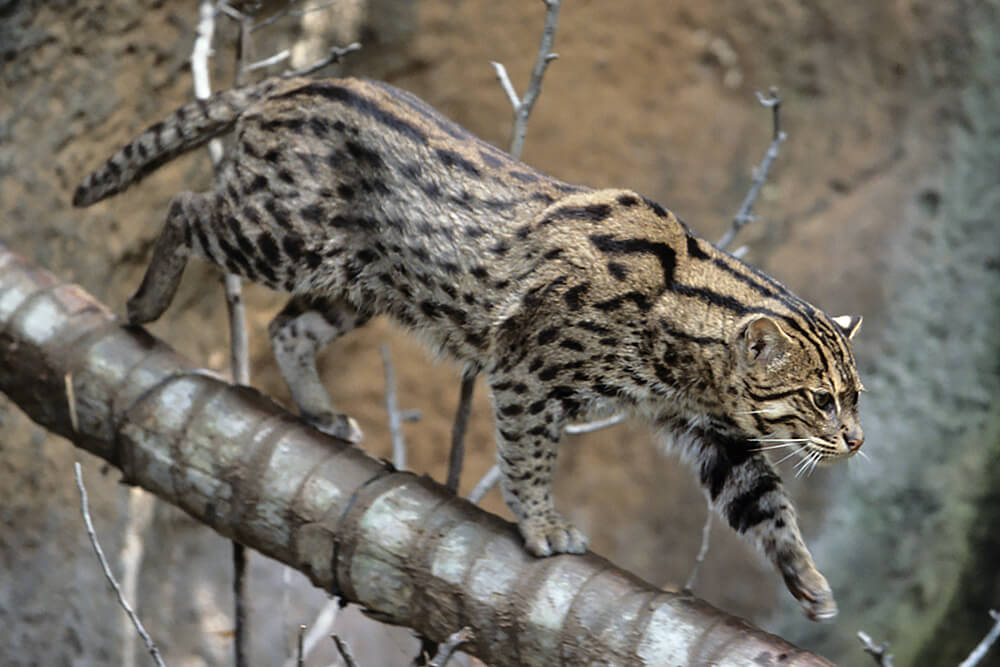 A fishing cat walks down a tree trunk