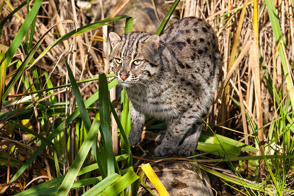A fishing cat prowling through tall reeds.