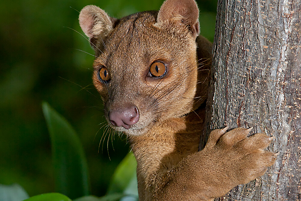 Fossa holding onto a tree trunk with its sharp claws